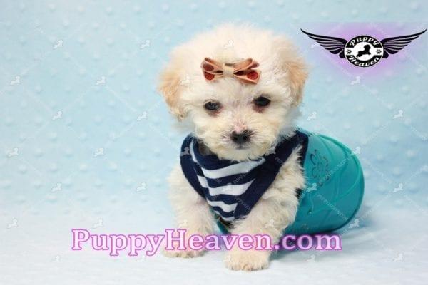 Denver - Teacup Shorkie Puppy has found a good loving home!-10171