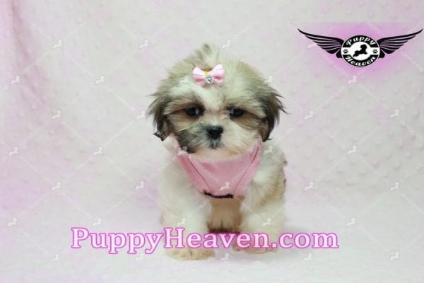 Fiona -Teacup Shih Tzu Puppy has found a good loving home with Monique from Norwalk, CA 90650-10319