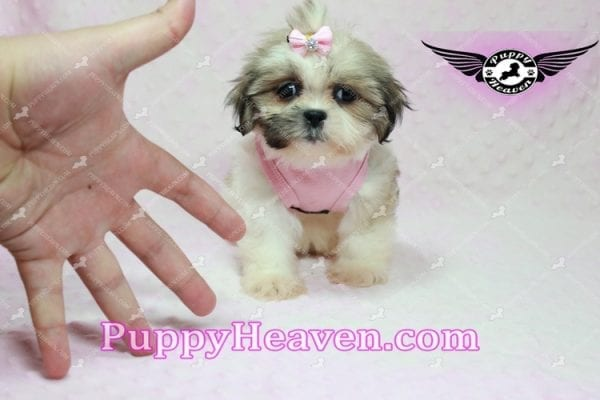 Fiona -Teacup Shih Tzu Puppy has found a good loving home with Monique from Norwalk, CA 90650-10316