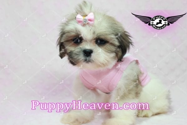 Fiona -Teacup Shih Tzu Puppy has found a good loving home with Monique from Norwalk, CA 90650-10313