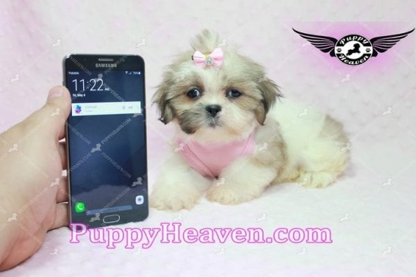Fiona -Teacup Shih Tzu Puppy has found a good loving home with Monique from Norwalk, CA 90650-0