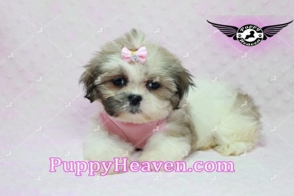 Fiona -Teacup Shih Tzu Puppy has found a good loving home with Monique from Norwalk, CA 90650-10314