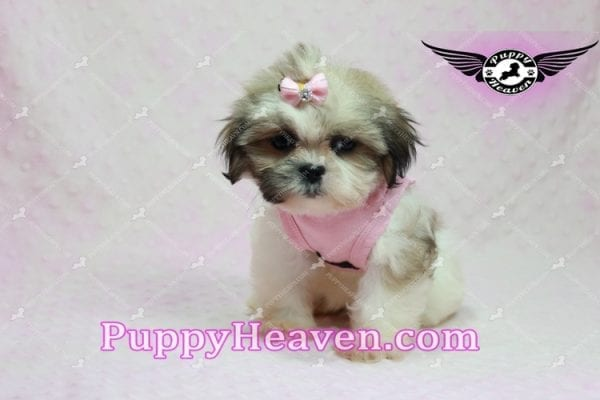 Fiona -Teacup Shih Tzu Puppy has found a good loving home with Monique from Norwalk, CA 90650-10315