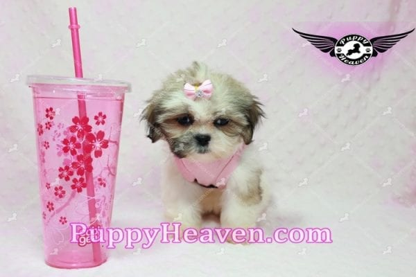 Fiona -Teacup Shih Tzu Puppy has found a good loving home with Monique from Norwalk, CA 90650-10317