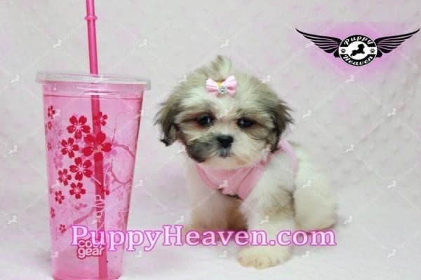 Fiona -Teacup Shih Tzu Puppy has found a good loving home with Monique from Norwalk, CA 90650-10311