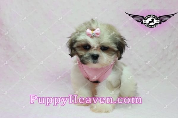 Fiona -Teacup Shih Tzu Puppy has found a good loving home with Monique from Norwalk, CA 90650-10312