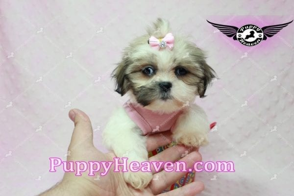Fiona -Teacup Shih Tzu Puppy has found a good loving home with Monique from Norwalk, CA 90650-10320