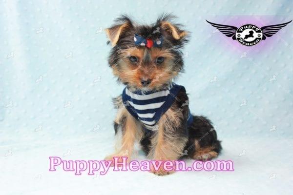 Formula 1 - Teacup Yorkie Puppy -10578