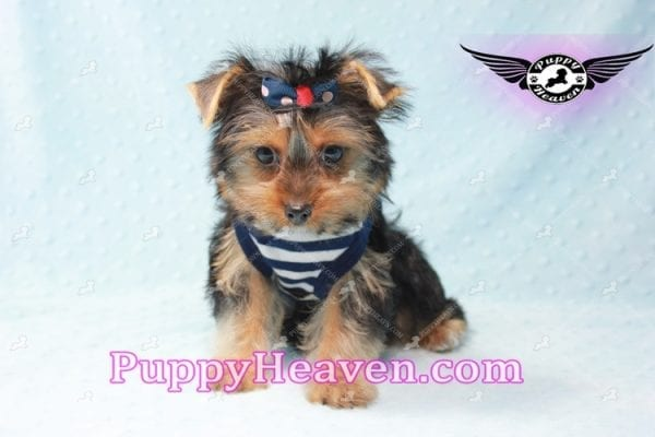 Formula 1 - Teacup Yorkie Puppy -10577