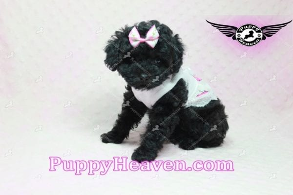Frenchie - Poodle Puppy In L.A-10285