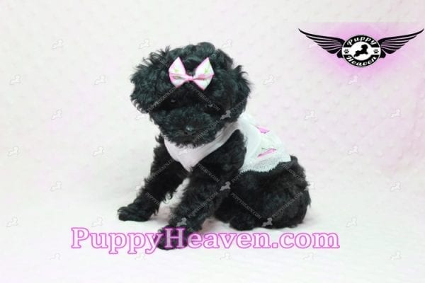 Frenchie - Poodle Puppy In L.A-10292
