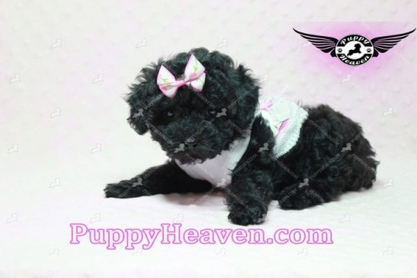 Frenchie - Poodle Puppy In L.A-10283