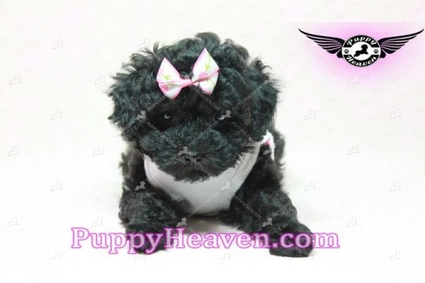 Frenchie - Poodle Puppy In L.A-10289