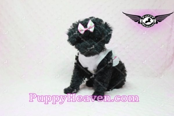 Frenchie - Poodle Puppy In L.A-10293