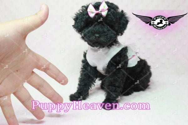 Frenchie - Poodle Puppy In L.A-10287