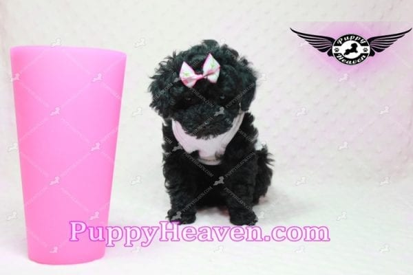 Frenchie - Poodle Puppy In L.A-10281