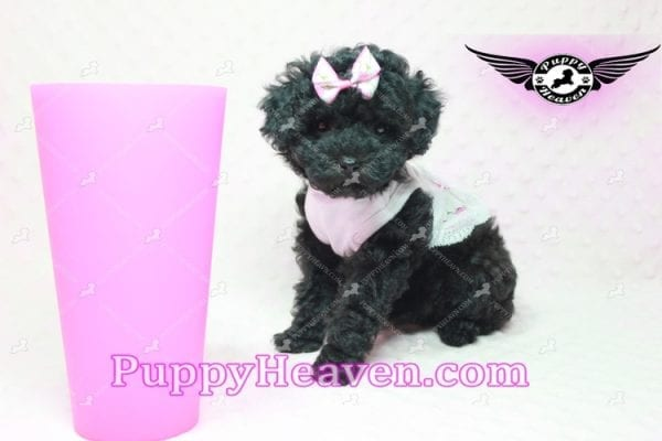 Frenchie - Poodle Puppy In L.A-10284