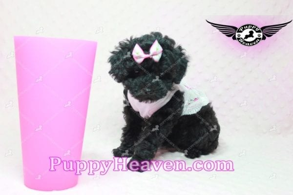 Frenchie - Poodle Puppy In L.A-10282