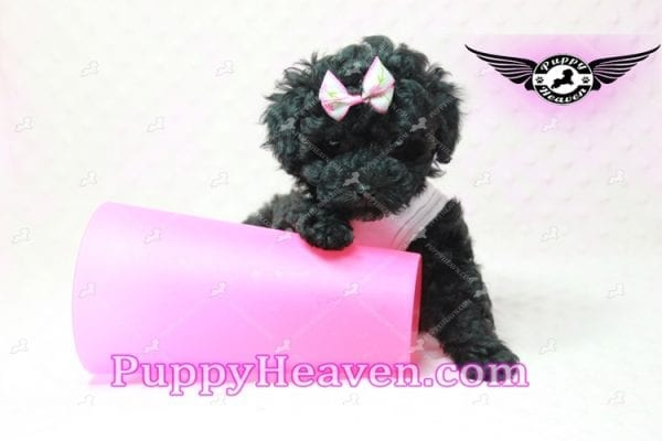 Frenchie - Poodle Puppy In L.A-10290