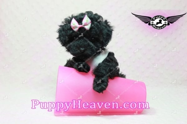 Frenchie - Poodle Puppy In L.A-10294
