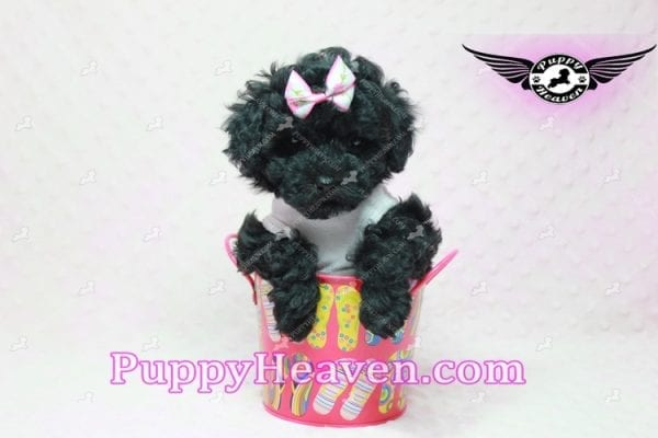 Frenchie - Poodle Puppy In L.A-10286