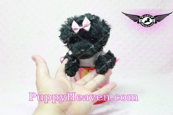 Frenchie - Poodle Puppy In L.A-10291