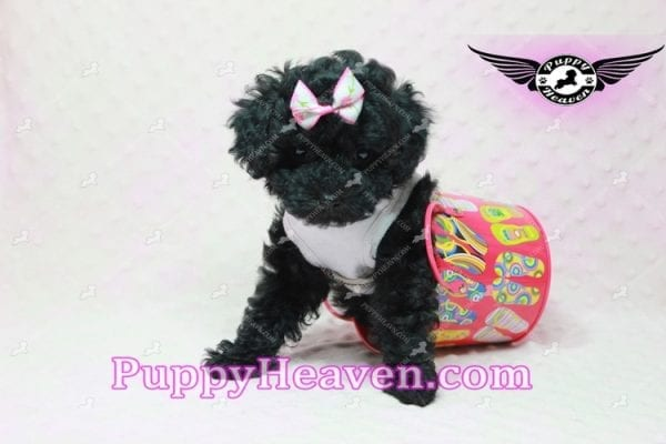 Frenchie - Poodle Puppy In L.A-10295