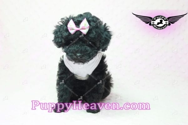 Frenchie - Poodle Puppy In L.A-10296