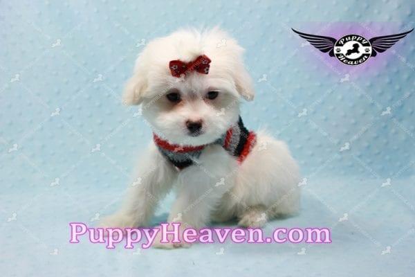 Giorgio Armani - Toy Maltipoo Puppy In L.A-10729