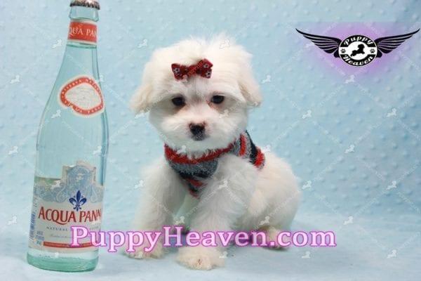Giorgio Armani - Toy Maltipoo Puppy In L.A-0