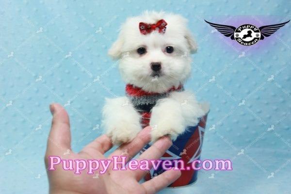 Giorgio Armani - Toy Maltipoo Puppy In L.A-10734
