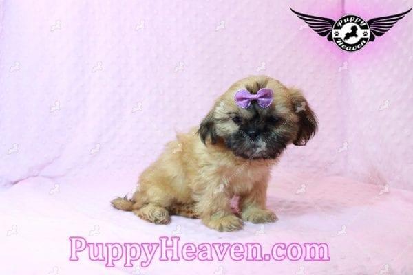 Goldie Hawn - Toy Shih Tzu Puppy has found a good loving home with STEPHANIE FROM FENTON, MI 48430-10392