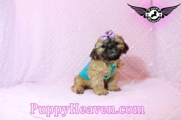 Goldie Hawn - Toy Shih Tzu Puppy has found a good loving home with STEPHANIE FROM FENTON, MI 48430-10394