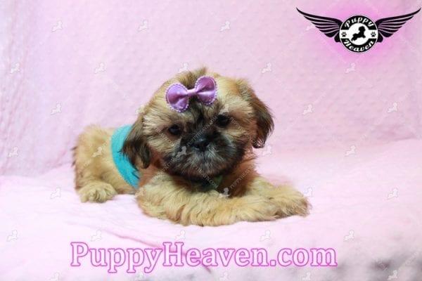 Goldie Hawn - Toy Shih Tzu Puppy has found a good loving home with STEPHANIE FROM FENTON, MI 48430-10396