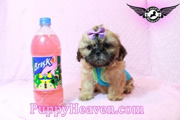 Goldie Hawn - Toy Shih Tzu Puppy has found a good loving home with STEPHANIE FROM FENTON, MI 48430-0