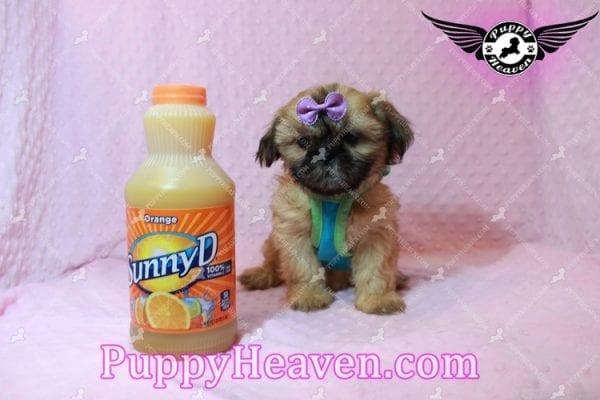 Goldie Hawn - Toy Shih Tzu Puppy has found a good loving home with STEPHANIE FROM FENTON, MI 48430-10393