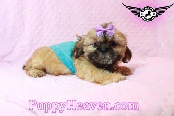 Goldie Hawn - Toy Shih Tzu Puppy has found a good loving home with STEPHANIE FROM FENTON, MI 48430-10397