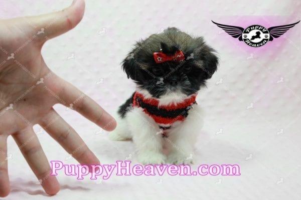 Gucci - Shih Tzu Puppy In L.A-10737