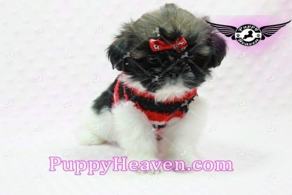 Gucci - Shih Tzu Puppy In L.A-10739
