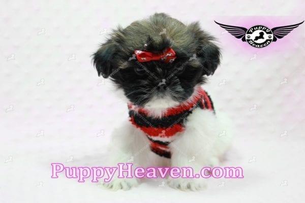 Gucci - Shih Tzu Puppy In L.A-10744