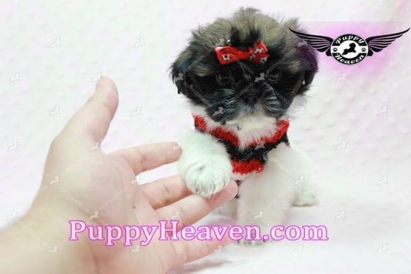 Gucci - Shih Tzu Puppy In L.A-10738