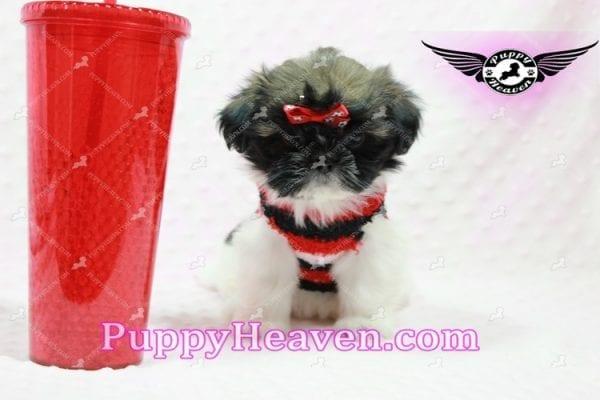 Gucci - Shih Tzu Puppy In L.A-0