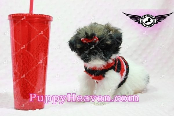 Gucci - Shih Tzu Puppy In L.A-10742