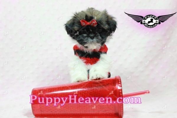 Gucci - Shih Tzu Puppy In L.A-10741