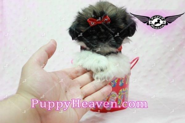 Gucci - Shih Tzu Puppy In L.A-10736
