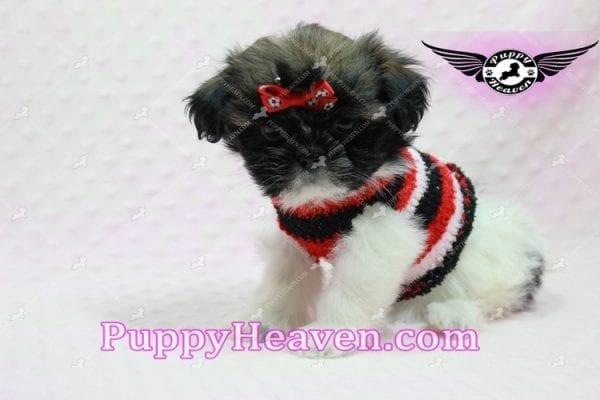 Gucci - Shih Tzu Puppy In L.A-10740