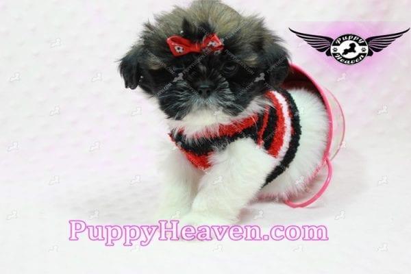 Gucci - Shih Tzu Puppy In L.A-10743