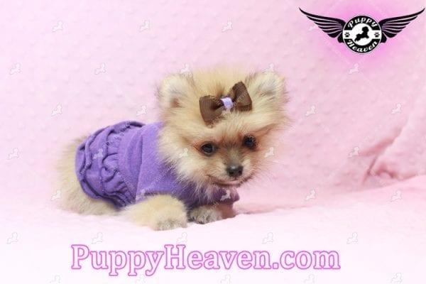 Holly Madison - Tiny Teacup Pomeranian Puppy has found a good loving home!-10699