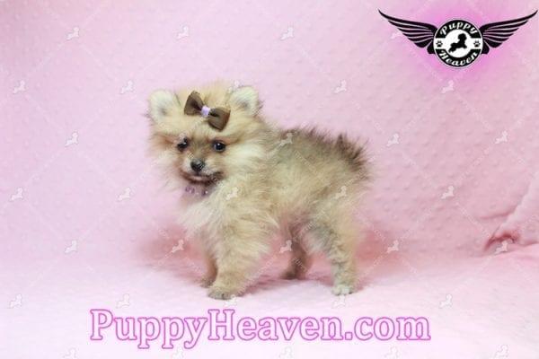 Holly Madison - Tiny Teacup Pomeranian Puppy has found a good loving home!-10704