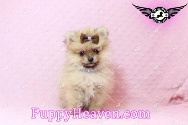 Holly Madison - Tiny Teacup Pomeranian Puppy has found a good loving home!-10702